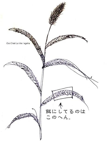 イネ科エノコログサ属エノコログサ。(イチモンジセセリ飼育)