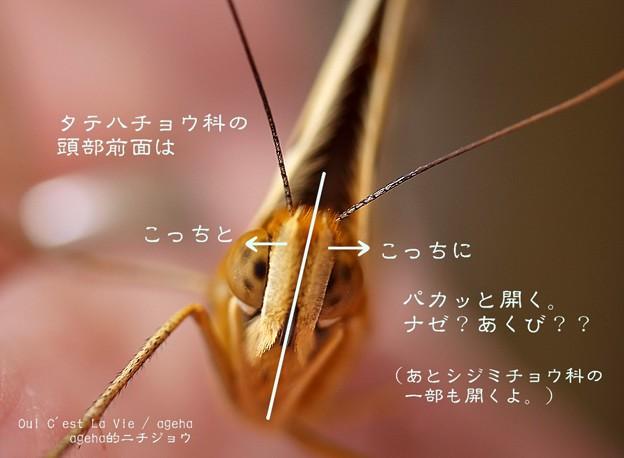 Photos: 頭部前面が(ツマグロヒョウモン飼育)