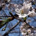 2014本日の桜。
