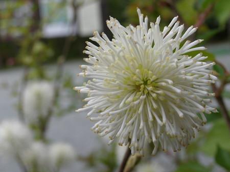 白花マンサク