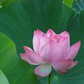 写真: 天上のあなたとわたし蓮の花