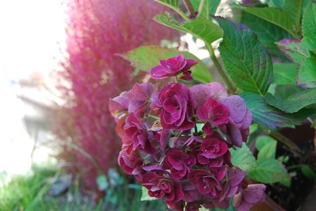 紫陽花と 箒木