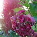 Photos: 紫陽花と 箒木