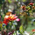 Photos: 秋薔薇を観賞してきたが。。。