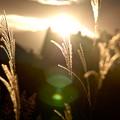Photos: 光に浮かぶ穂