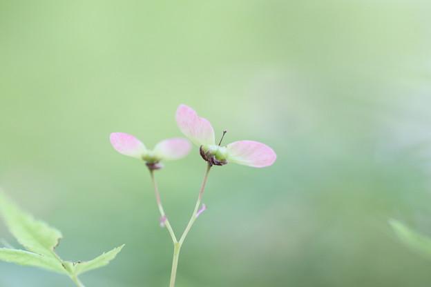 もみじの花-2
