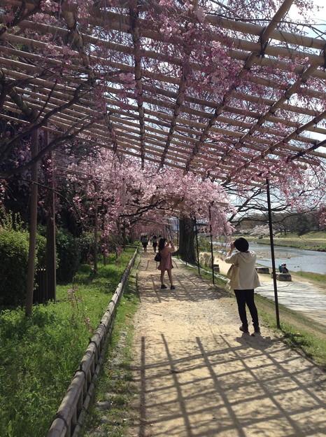 1401-鴨川沿いの桜3