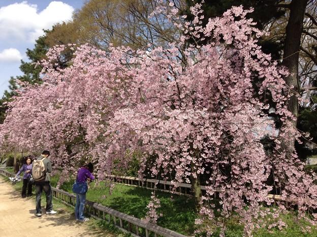 1401-鴨川沿いの桜4