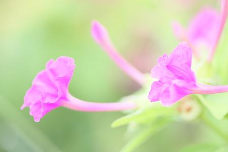 白粉花は優しく ♪♪♪