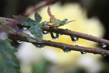 楓の枝の雫