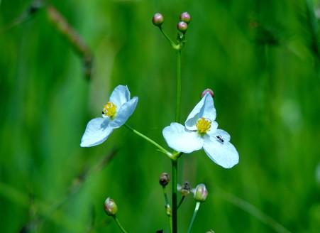 オモダカの白い花