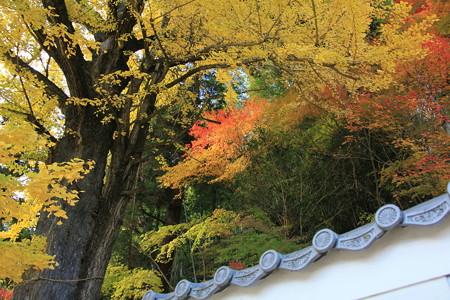 銀杏の黄葉と紅葉