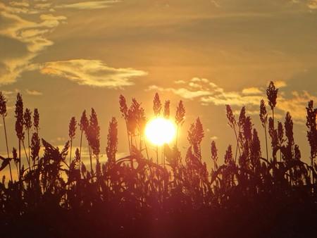 サトウキビ畑の夕陽