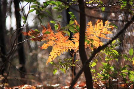 山野草の紅葉