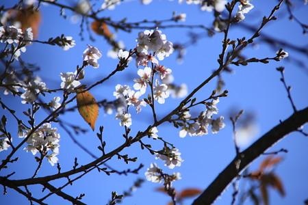 輝く四季桜