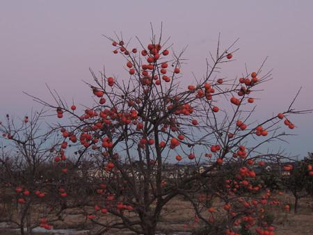 薄紅色の東空と柿の木
