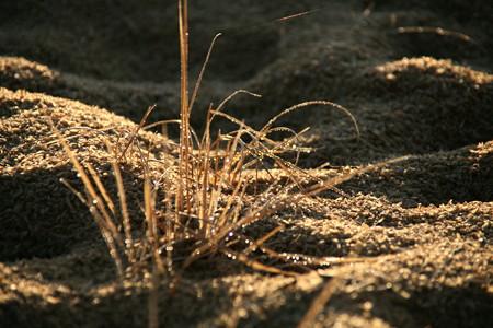 雑草の朝露