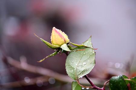 今年最後の蕾、咲いて呉れるかな?