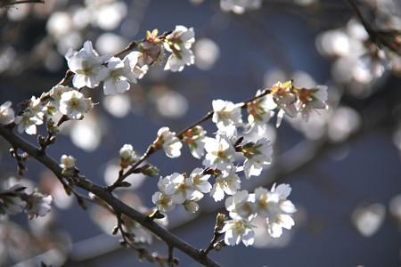 四季桜、未だ頑張ってます