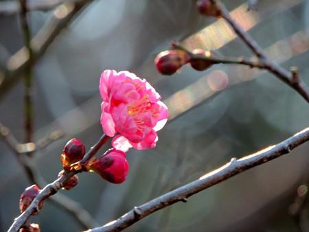 梅花の初撮り