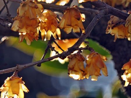 蝋梅の提灯は花盛り