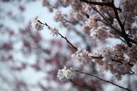 桜ー春めき
