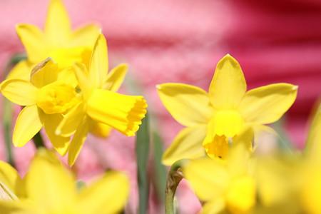 水仙の春の唄声♪~♪