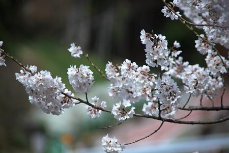 早くも満開の春めき