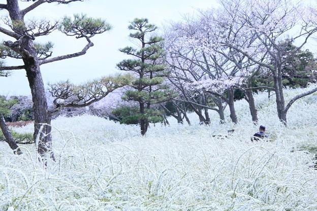 雪景色に桜咲く~♪
