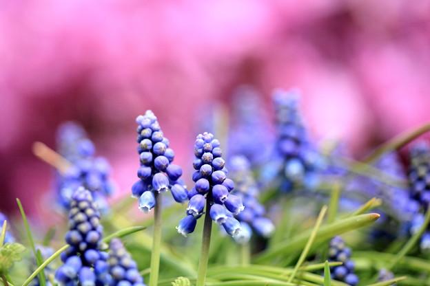 ムスカリの花も満開!