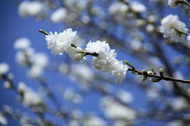 花は清らかに♪~♪