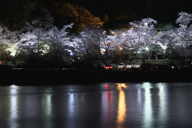 水源公園の夜桜