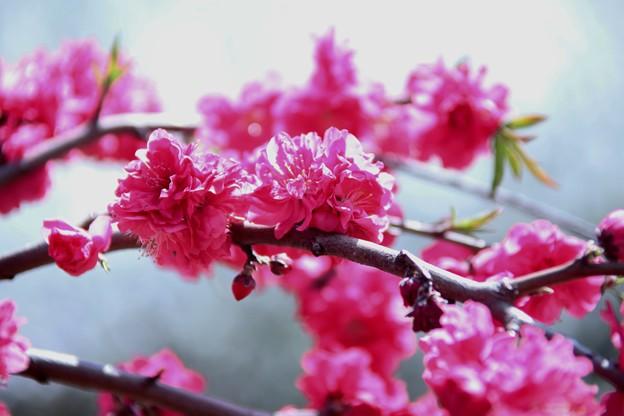花桃は華やかに♪~♪