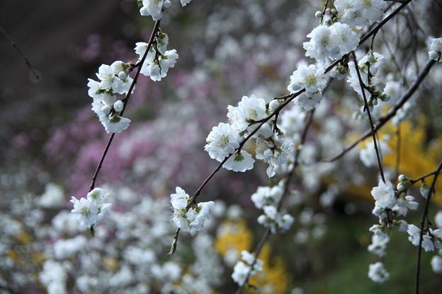白の枝垂れ桃