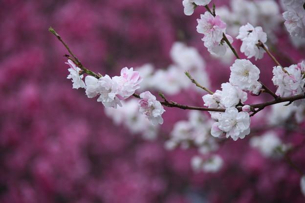 桃の花は優しく咲いて~~