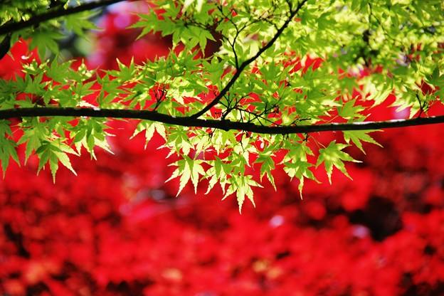 萌える~燃える楓の若葉