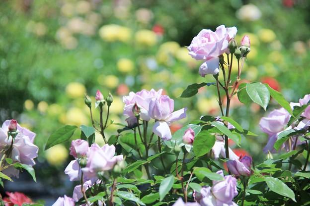 西山公園薔薇園