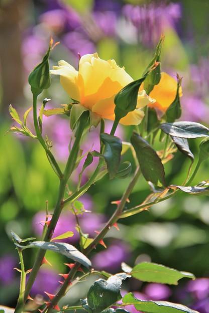 黄薔薇が咲き出した