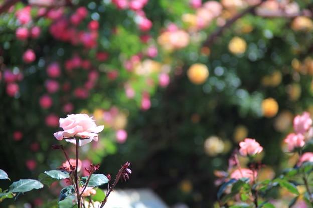 薔薇と蔓薔薇