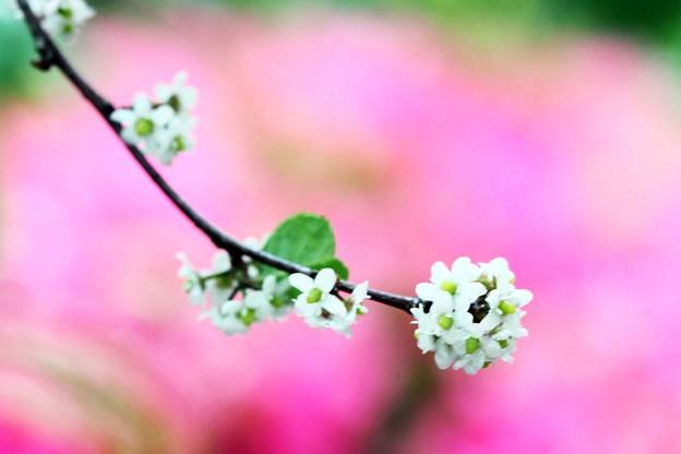 ウメモドキの小さな花