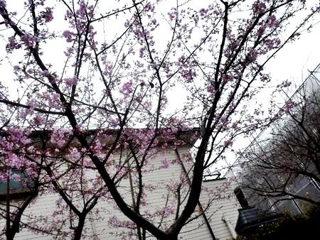 たぶん河津桜