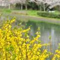 Photos: 水辺のレンギョウ