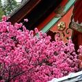 Photos: 御香宮の菊桃