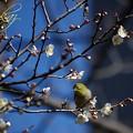 Photos: 春色目白
