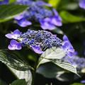 紫陽花の輝き