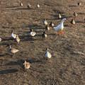 写真: 水鳥の集団散歩