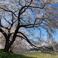 写真: 一味違う桜美