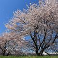 写真: 桜風に舞う