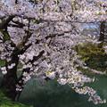 写真: 弘前桜