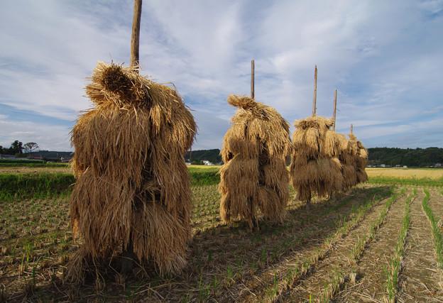 写真: 稲の天日干し